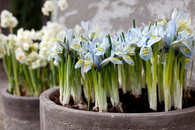Spring decorating ideas refresh your home with spring flowering bulbs dwarf iris spring flowering bulbs katherine hodgkin mightylinksfo