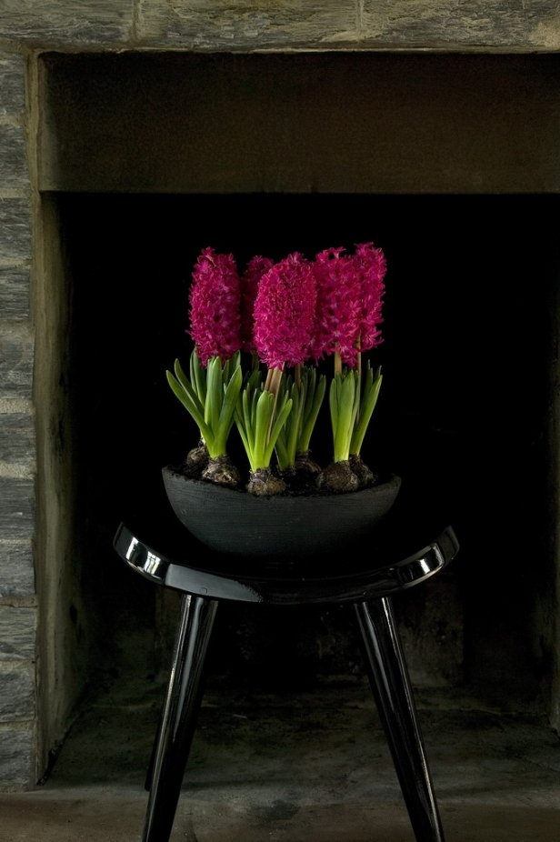 spring flowering bulbs fuchsia color hyacinths black bowl