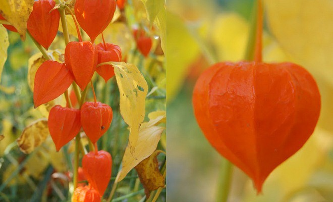Natural Fall Decorations With Physalis Chinese Lantern Plants