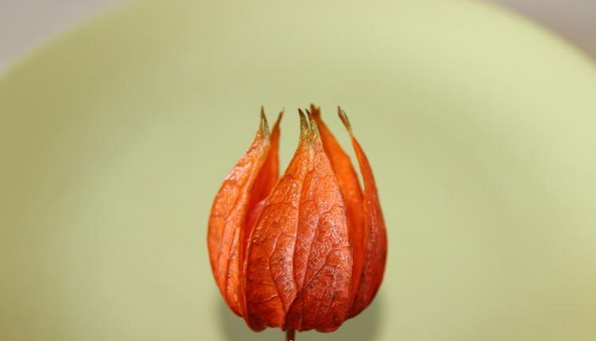 Natural fall decorations physalis-pods-half-open