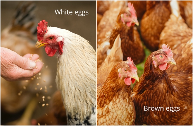 difference between white and brown eggs