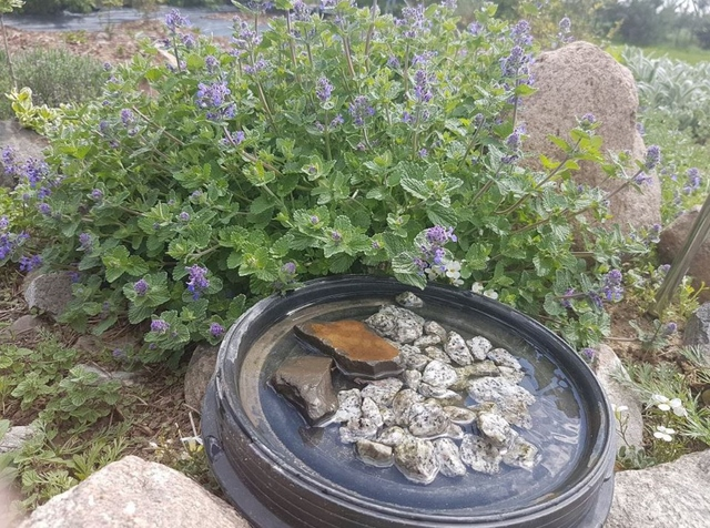 honey bee water station next to a catnip against mosquitoes